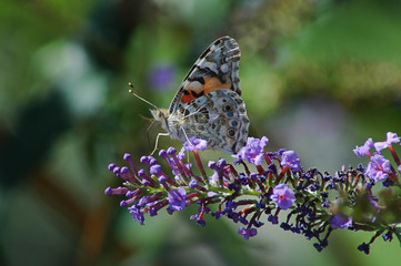 Ventral side of a Painted lady butterfly resting on a violet flower in the garden