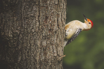 Close-up of red-bellied woodpecker perching on tree trunk in forest