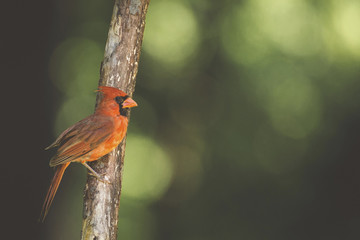 Side view of cardinal perching on branch in forest
