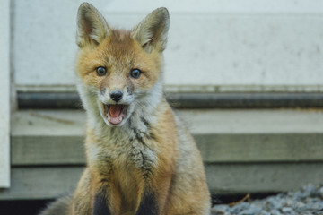 Portrait of red fox with mouth open sitting by wall