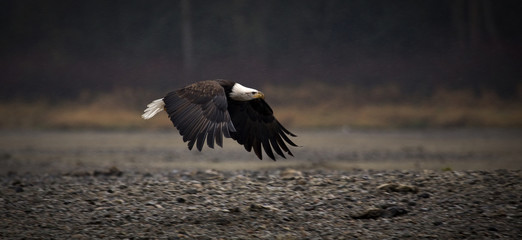 Close-up of Bald eagle flying over field