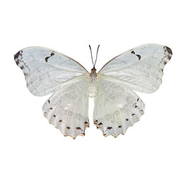Beautiful white butterfly Morpho polyphemus isolated on a white