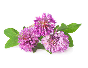 Red clover flowers on a white background close-up.