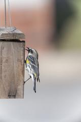 Yellow-Dumped Warbler