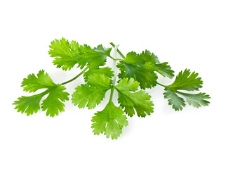 Three Fresh Coriander leaves on a white background close-up.