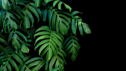 Green leaves of Monstera plant growing in wild, the tropical forest plant, evergreen vine on black background. Wall mural