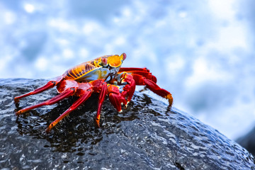 Sally Lightfoot Crab on a lava rock, sea spray background, Galapagos