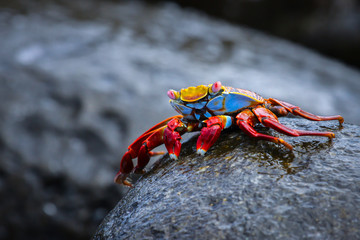 Sally Lightfoot Crab on a lava rock, Galapagos