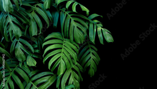 Wall mural Green leaves of Monstera plant growing in wild, the tropical forest plant, evergreen vine on black background.