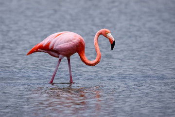 Greater Flamingo searching food, reflections in water, green background, North Seymour, Galapagos, Ecuador