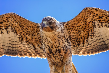 Close up of a Galapagos hawk head in flight from below, Bartolome Island, Galapagos