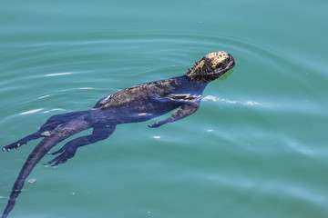 Marine Iguana swimming in the sea, Puerto Ayora, Las Tintoreas, Santa Cruz Island