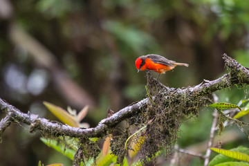 Colorful Vermillion flycatcher perching on a branch, Isabela Island, Galapagos