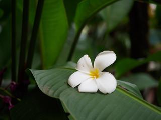 White fallen plumeria flower on a green leaf