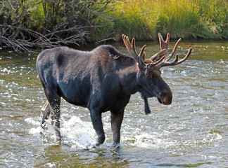 Adult Bull moose with shedding velvet antlers crossing the Fish Creek tributary of the Snake River in Wyoming USA