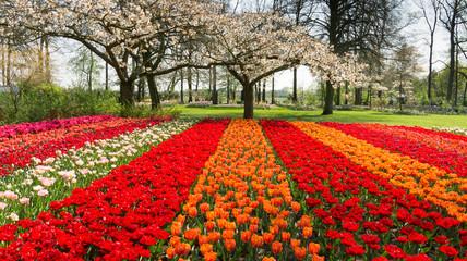 Tulips in Dutch public Spring flower Garden Keukenhof Lisse, Zuid Holland, NLD Wall mural
