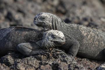 Couple of of a Marine Iguanas on lava rocks, Las Tintoreas, Santa Cruz Island, Galapagos