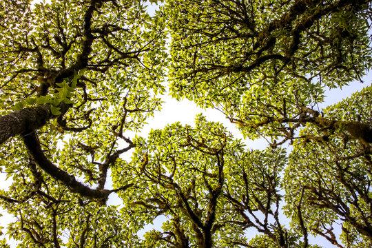 Tree canopy with blue sky, Los Gemelos, Santa Cruz Island, Galapagos, Ecuador