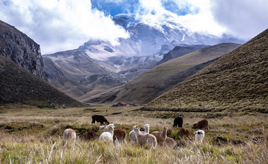 Scenic view to Volcano Chimborazo with lamas in the foreground, Road of Volcanoes, Ecuador