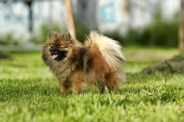 Pomeranian is running happily in the garden.