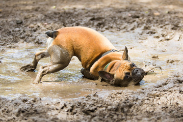 French Bulldog  in a mud puddle