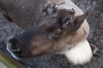 Portrait of a deer close up