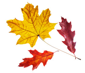 Red and yellow maple leaves close-up on a white background.