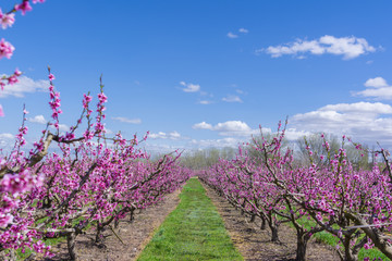Blossoming peach tree in spring