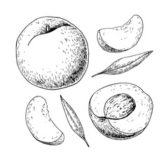 Peach vector drawing. Isolated hand drawn full and sliced pieces