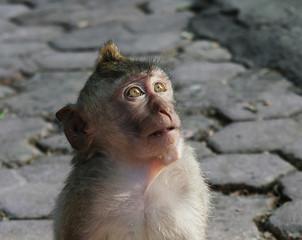 Monkey in Bali - Indonesia