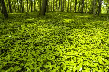 Baumimpressionen, Buchenwald im Frühjahr, grüner Waldboden, Ö