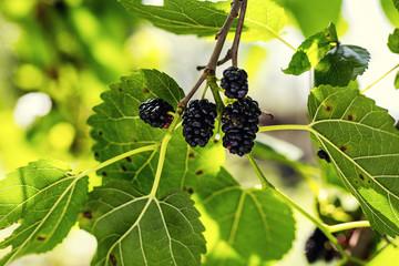 Ripe black berry hanging on Morus tree branch (black mulberry, Morus nigra) close up macro.black ripe and unripe mulberries on the branch.Wild mulberry hanging on branch with green leaves
