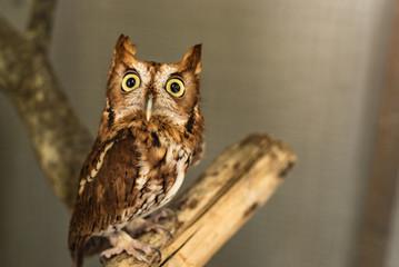 Wise Screech Owl on Branch