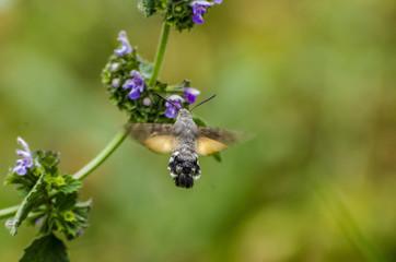 Sfinge colibrì durante il suo volo librato sopra i fiori