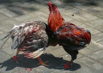 Cockfight in Bali