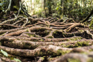 Roots in jungle, Tanjung Putting National Park, Kalimantan, Indonesia