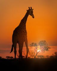 African Giraffe Walking at Sunset