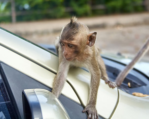 Monkey on the car is eating Thailand