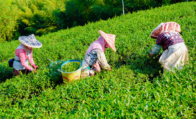 Asia culture concept image - Farmers pick up fresh organic tea bud & leaves in plantation, the famous Oolong tea area in Ali mountain, Taiwan