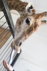 Portrait of a giraffe with tongue