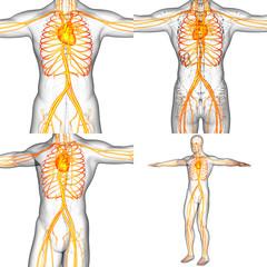 3D rendering medical illustration of the human vascular system