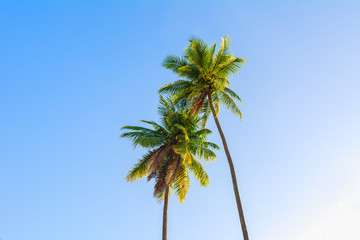 Two coconut tree with blue sky background