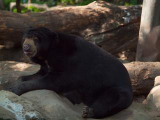 Closeup Brown bear in a zoo