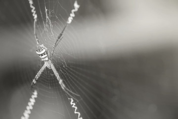 Closeup spider on cobweb in black and white tone with copy space