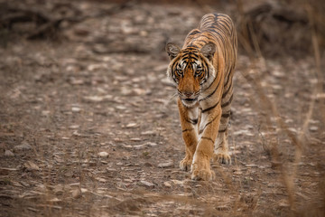 Young tiger female is walking straight towards the photographer/wild animal in the nature habitat/India/big cats/endangered animals/close up with tigress