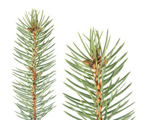 Fir branch isolated on white background. Fir-needle isolated on white