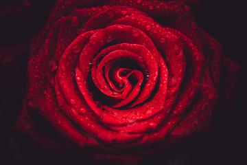 Close up Rose Flowers