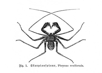 Tailless whip scorpion (Phrynus reniformis) (from Meyers Lexikon, 1895, 7/664)