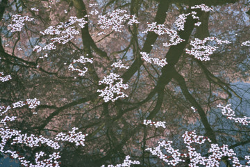 Cherry Petals Floating on Water