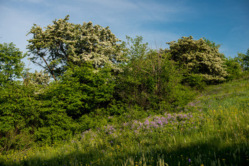 Amazing spring landscape and a flowering hawthorn tree